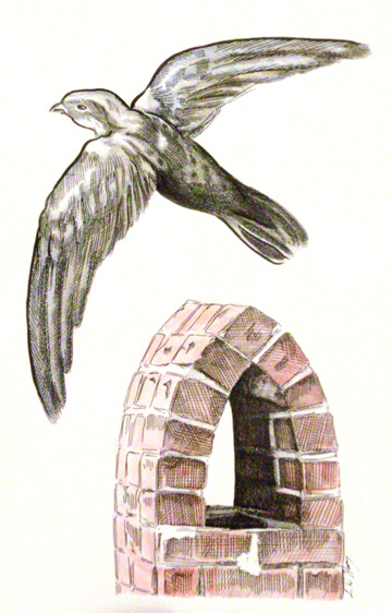 Chimney swift by L. W. Harvey